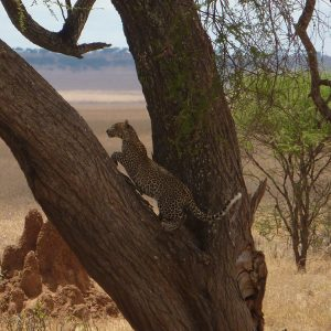 African Safari: Leopard in tree