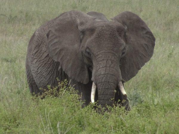 Kenya Tanzania - Elephant