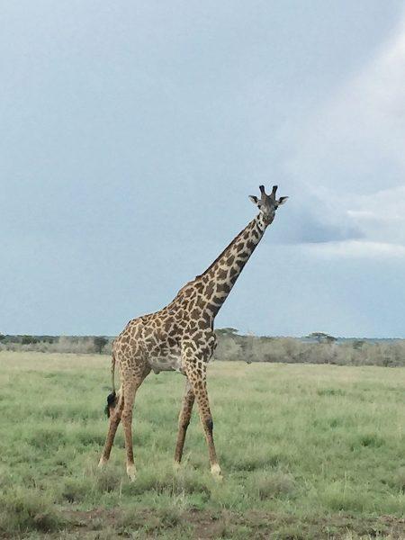 Kenya Tanzania - Giraffe