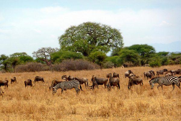 African Safari: Wildebeest and Zebra