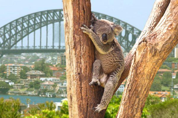 Koala overlooking Sydney, Australia