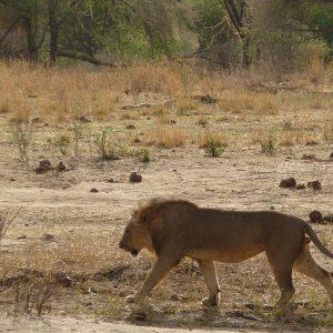 African Safari: Lion Crossing