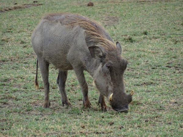 Kenya Tanzania - Warthog