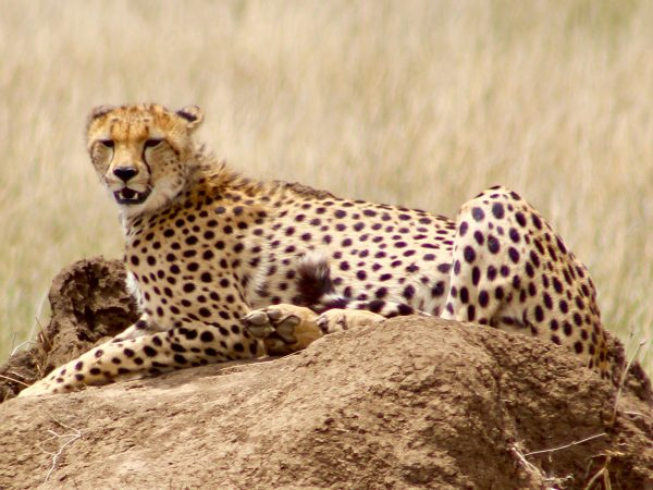 Kenya Tanzania - Cheetah layin on a rock
