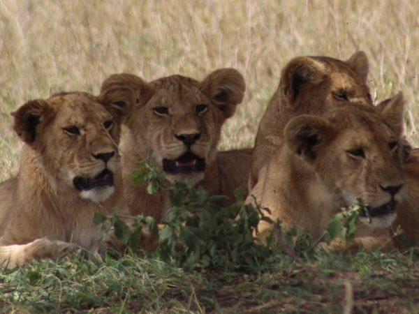 Kenya Tanzania - Pack of Lions laying down