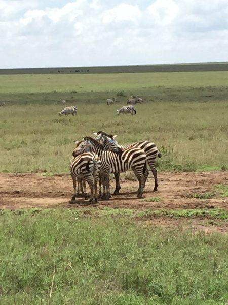 Kenya Tanzania - Zebra