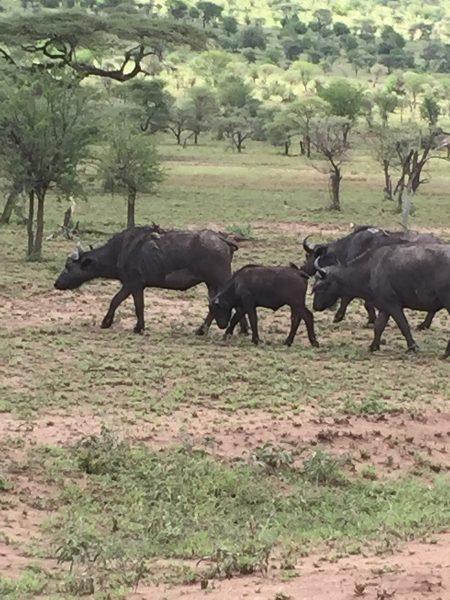 Kenya Tanzania - Wildebeest